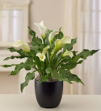 Sophisticated White Calla Lily - Click Image to Close