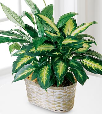 The Spathiphyllum and Dieffenbachia - Click Image to Close