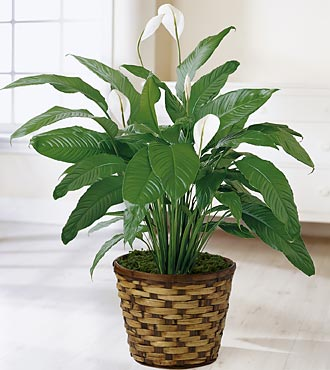 Spathiphyllum Plant - Click Image to Close