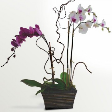The Colorful Multi Stemmed Phalaenopsis Bouquet - Click Image to Close