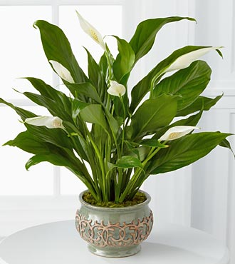 Serene Peace Plant - Click Image to Close