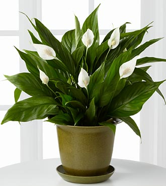 The Down to Earth Peace Lily Plant - Click Image to Close