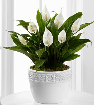 Calming Grace Peace Lily