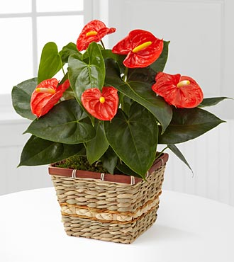 Autumn Radiance Anthurium Plant