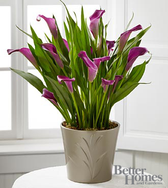 Lovely Life Calla Lily Plant - Click Image to Close