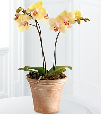 Golden Discovery Orchid - Click Image to Close