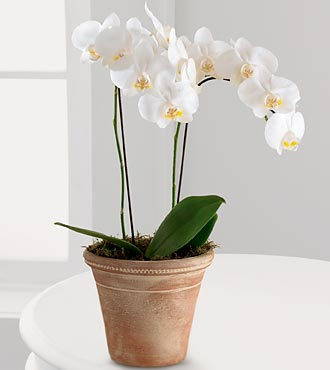 White Glamour Orchid - Click Image to Close