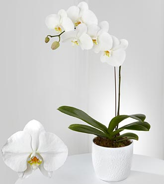 Joyful Journeys Phalaenopsis Orchid