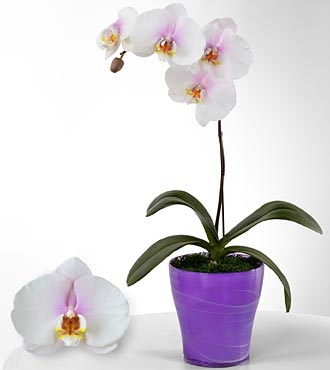 True Inspirations Phalaenopsis Orchid
