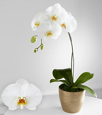 Graceful Greetings Phalaenopsis Orchid - Click Image to Close