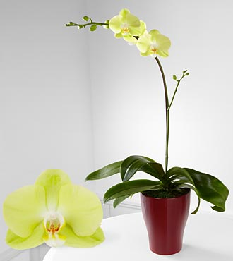 Spark Of Happiness Phalaenopsis Orchid