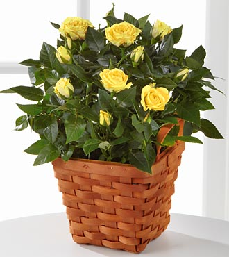 Lighthearted Moments Mini Rose Plant - Click Image to Close