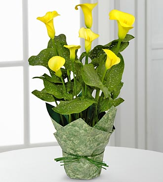 Delightful Day Calla Lily Plant - Click Image to Close