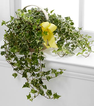 Solace Ivy Planter - Click Image to Close