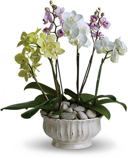 regal orchids plants royal fleur florist larkspur ca 94939