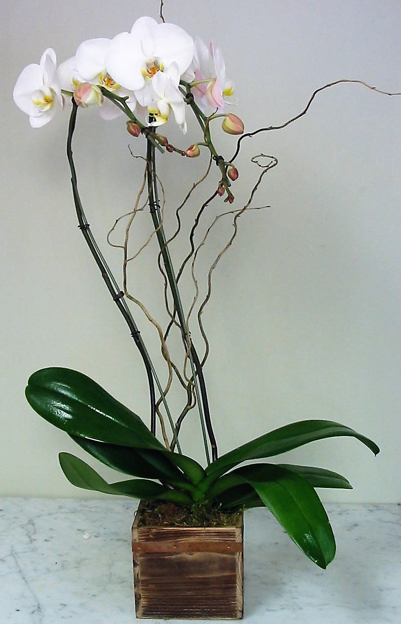 Double Stems White Phalaenopsis Orchid in Wood Box