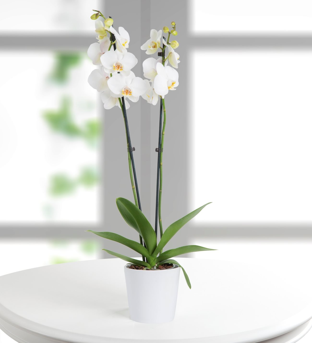 Double Stems White Phalaenopsis Orchid
